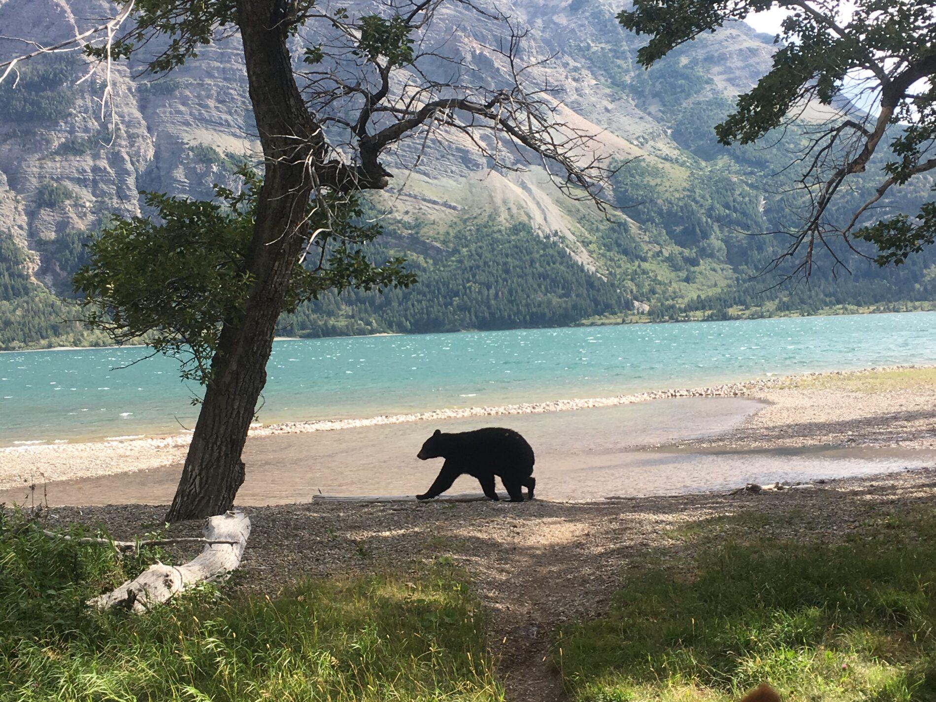 bear on lakeshore